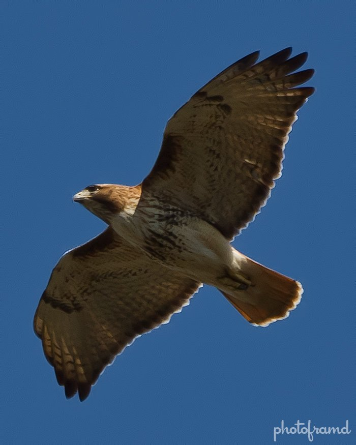 Red Tailed Hawk Long Island